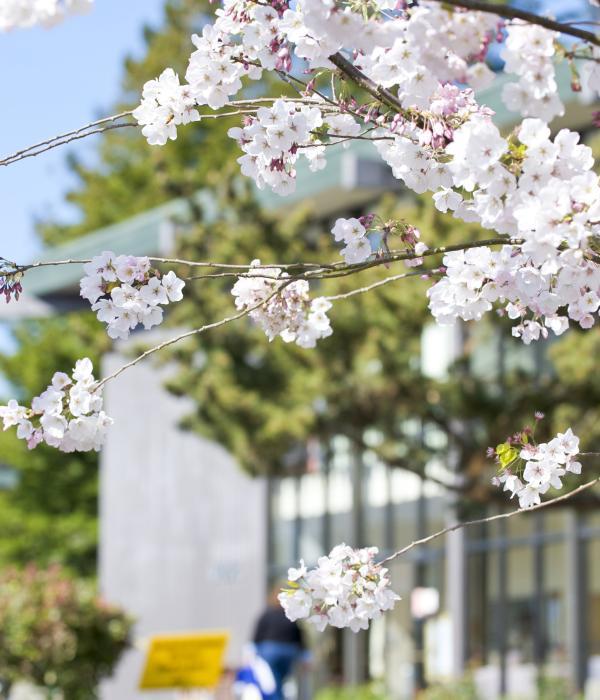 Cherry blossoms on HSU campus