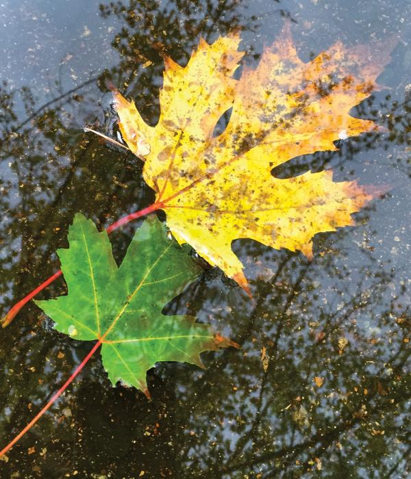 Fallen maple leaves floating on a puddle