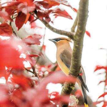 Cedar Waxwing bird in tree