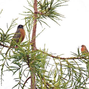 Birds in redwood tree
