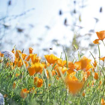 field of orange california poppies