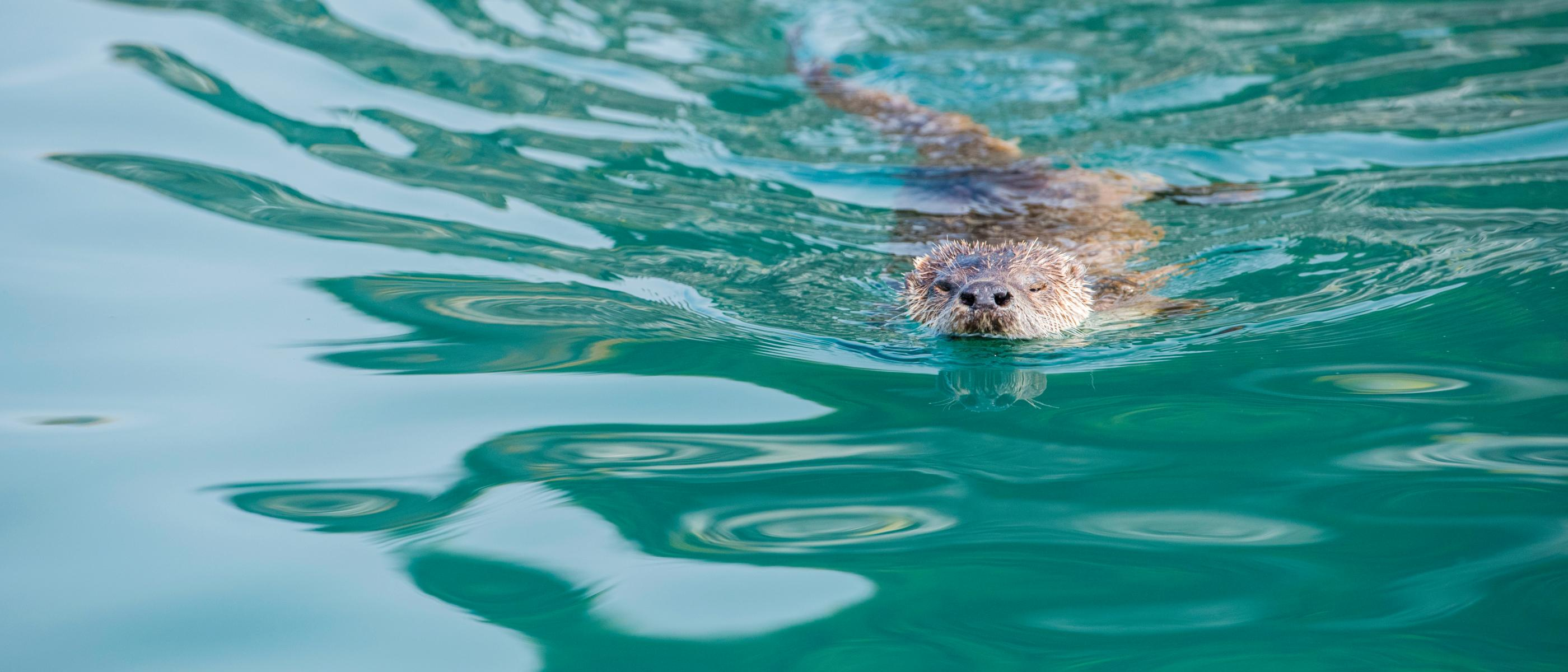 Sea otter swimming in the ocean