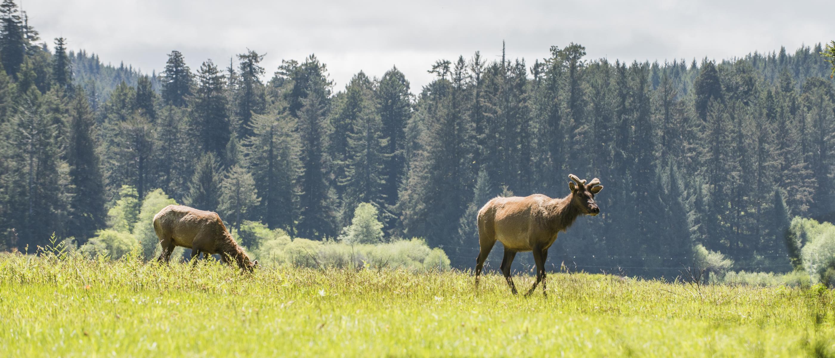 Female elk in Prairie Creek State Park