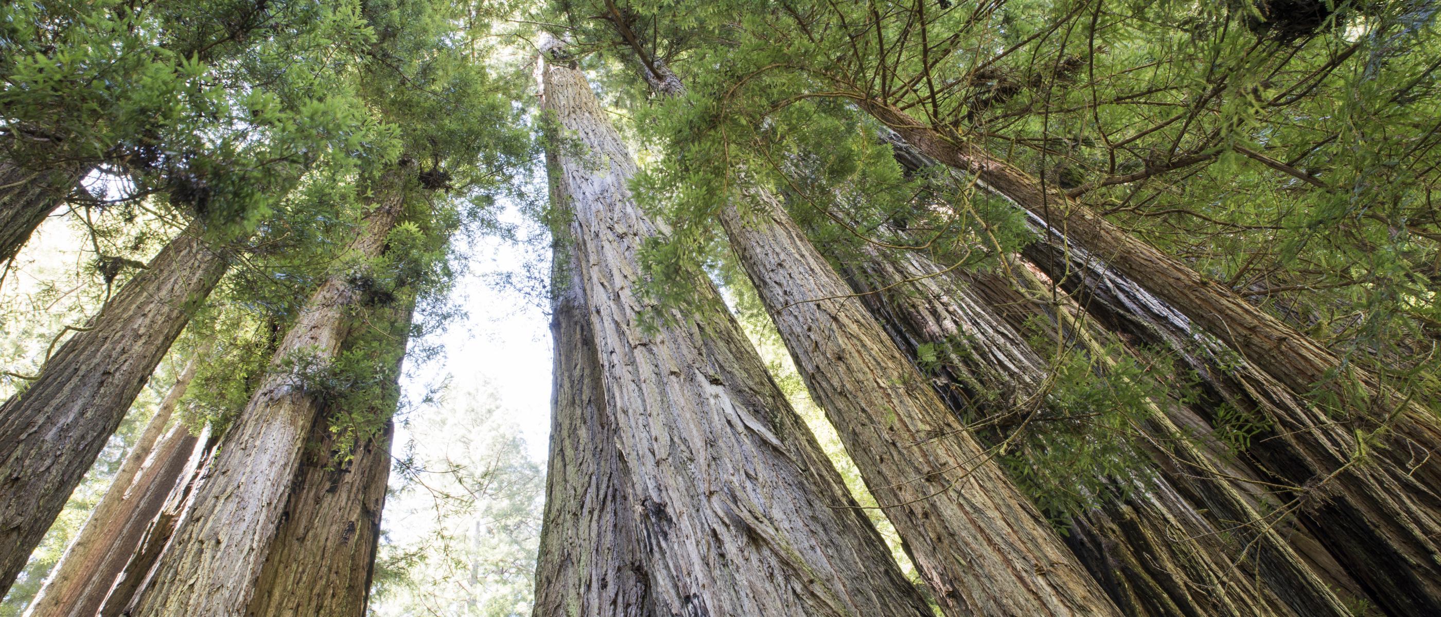 Redwood trees in Prairie Creek State Park