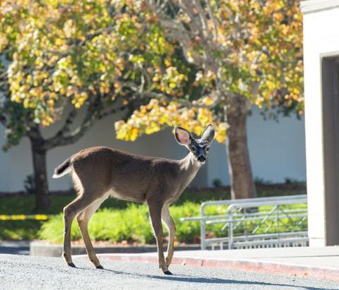 Deer wandering on campus
