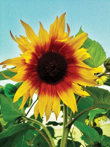 Sunflower by Bob Doran